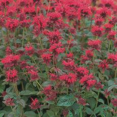 pysznogłówka red shades jako kwiat wieloletni w ogrodzie wiejskim w Polsce