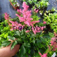 oferowane sadzonki tawułki arendsa w odmianie rose shades w czasie kwitnienia obrazujące realny kolor kwiatów