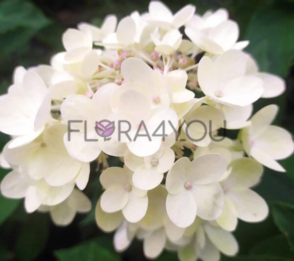 kwiatostan hortensji bukietowej bombshell