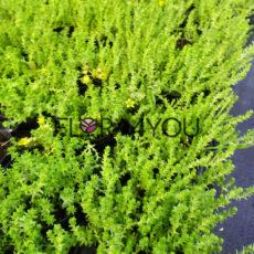 rozchodnik ostry, zdjęcie sadzonek przed kwitnieniem