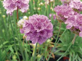 Zawciąg szerokolistny różowy - Armeria Ballerina Purple Rose