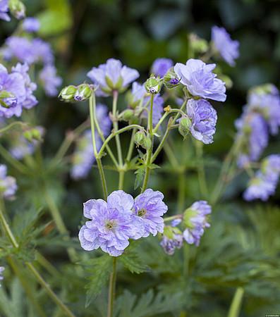 bodziszek łąkowy cloud nine z kwiatami w ogrodzie na słonecznej rabacie bylinowej