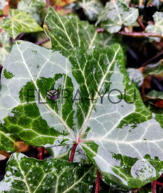 bluszcz pospolity sadzonki pnącza do cienia bez kwiatow hibernica