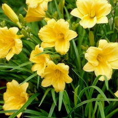 kwiaty liliowca stella odore latem