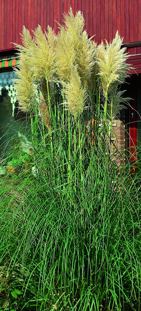trawa pampasowa white plume podczas kwitnienia w zajefajnym ogrodzie