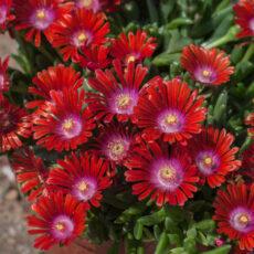 jaskrawe kwiaty słonecznicy sundella red na skalniaku