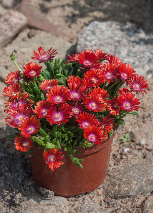 sadzonka słonecznicy sundella red w czasie kwitnienia w doniczce