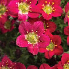 piękne czerwono karminowe kwiaty skalnicy pan red
