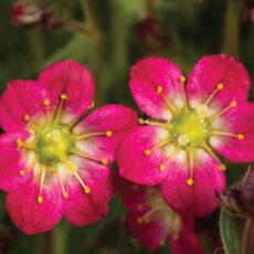Skalnica na skalniaku w czasie kwitnienia z bliska kwiaty tej odmiany byliny
